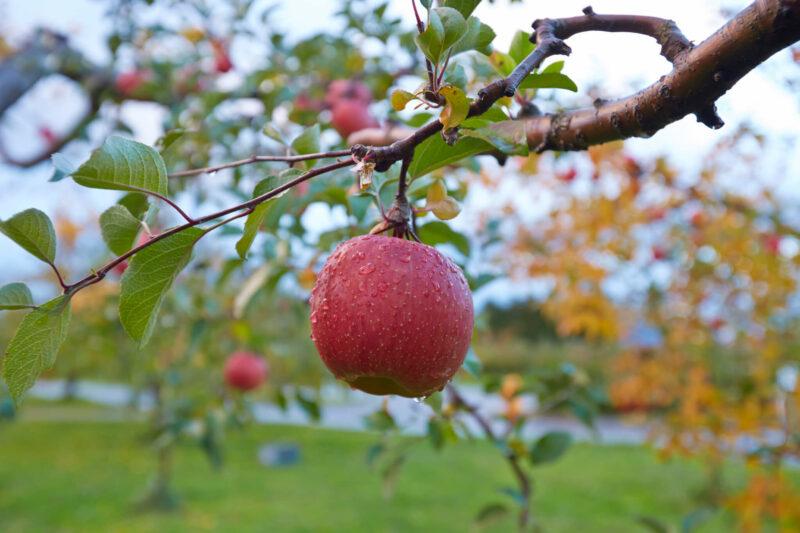 Apples in Aomori