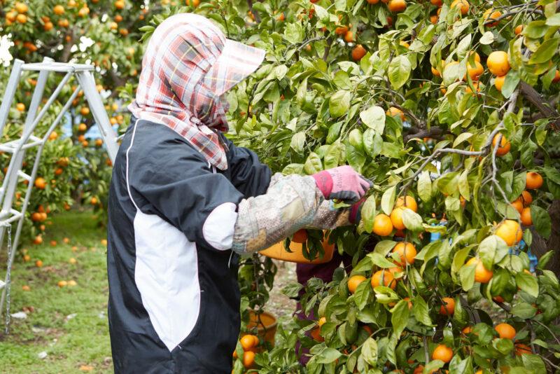 Mikan orange farm